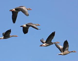 Bilan du suivi de l'âge ratio des oies grises prélevéesà la chasse durant la saison 2012/2013