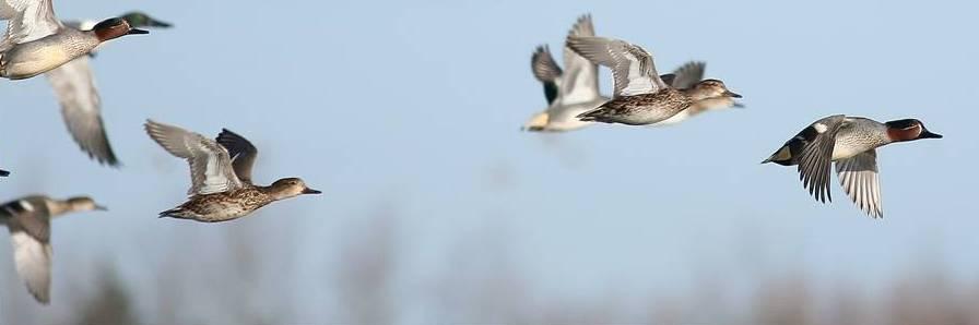 Sarcelles d'hiver : une migration en soubresaut cette année.