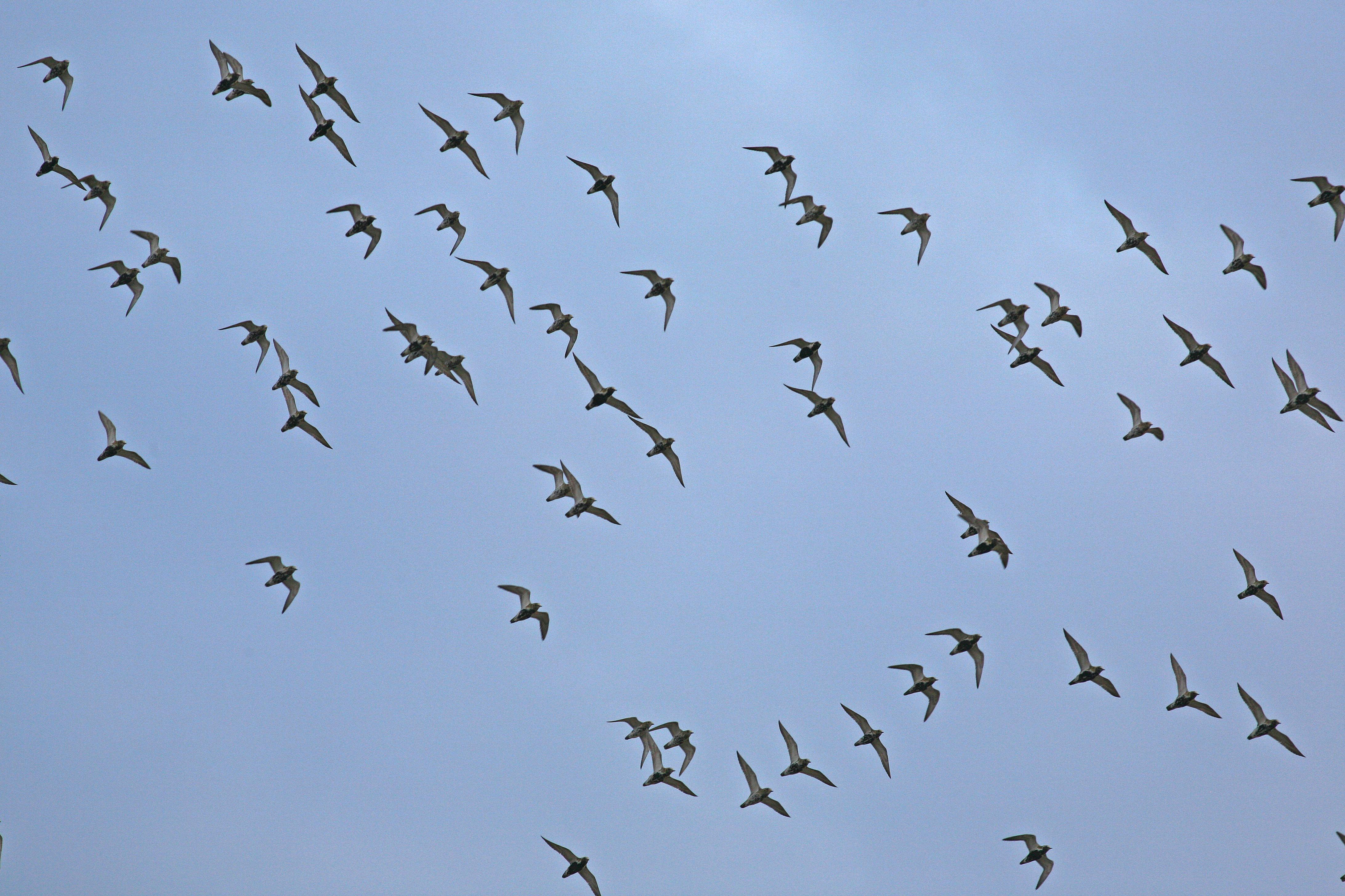 Flux d'oiseaux fin octobre en baie de Somme