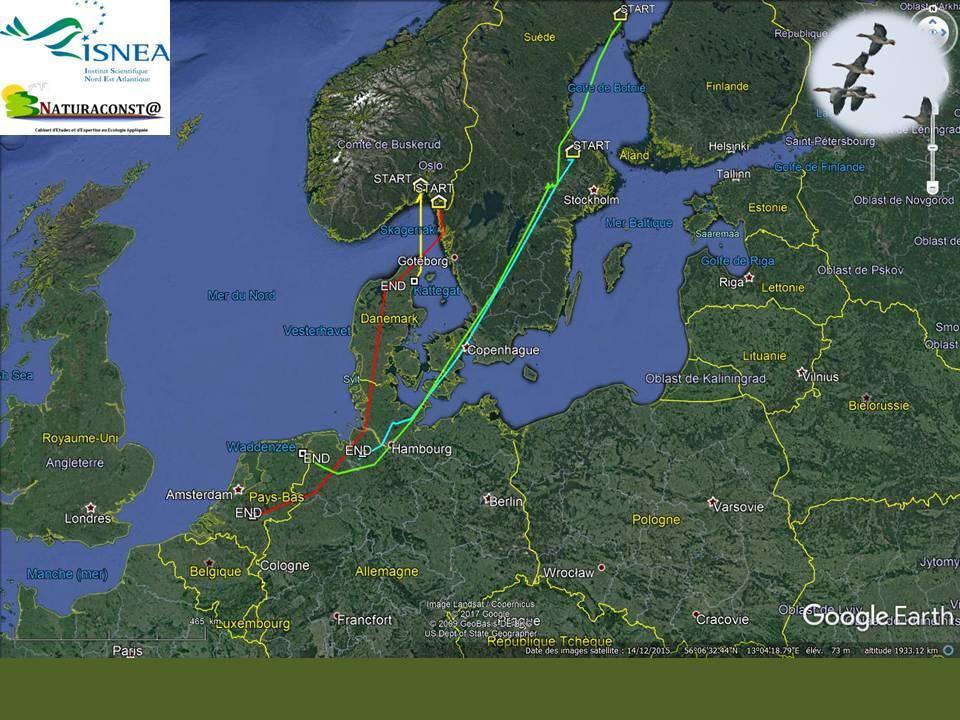 Migration des oies dans le Nord de l'Europe.