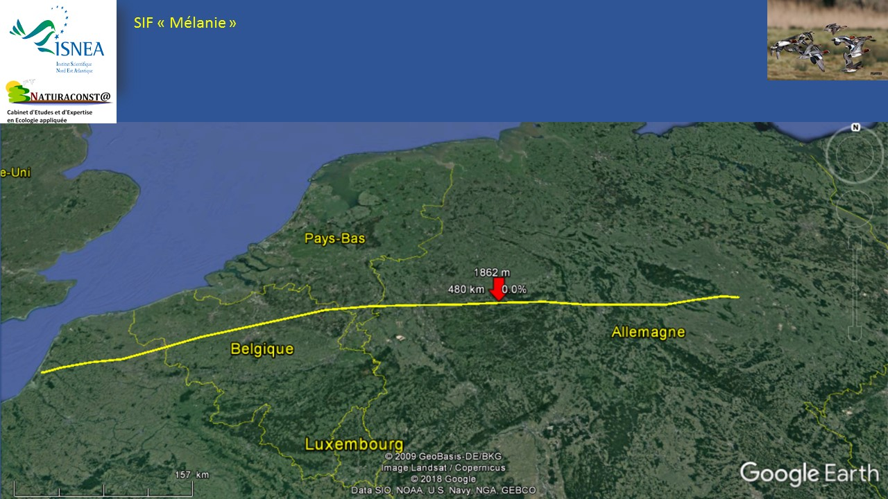 Une femelle siffleur en route pour l'Est de l'Europe